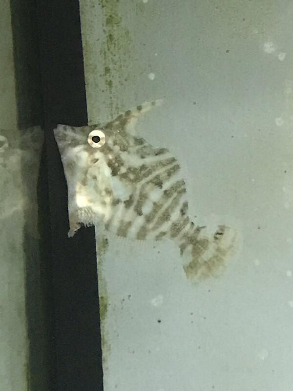 Zebra Filefish