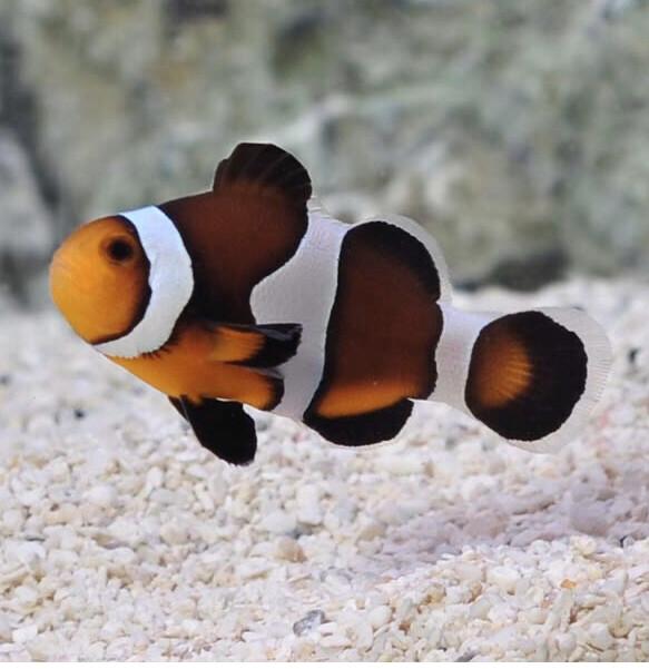 Maine Mocha Clownfish