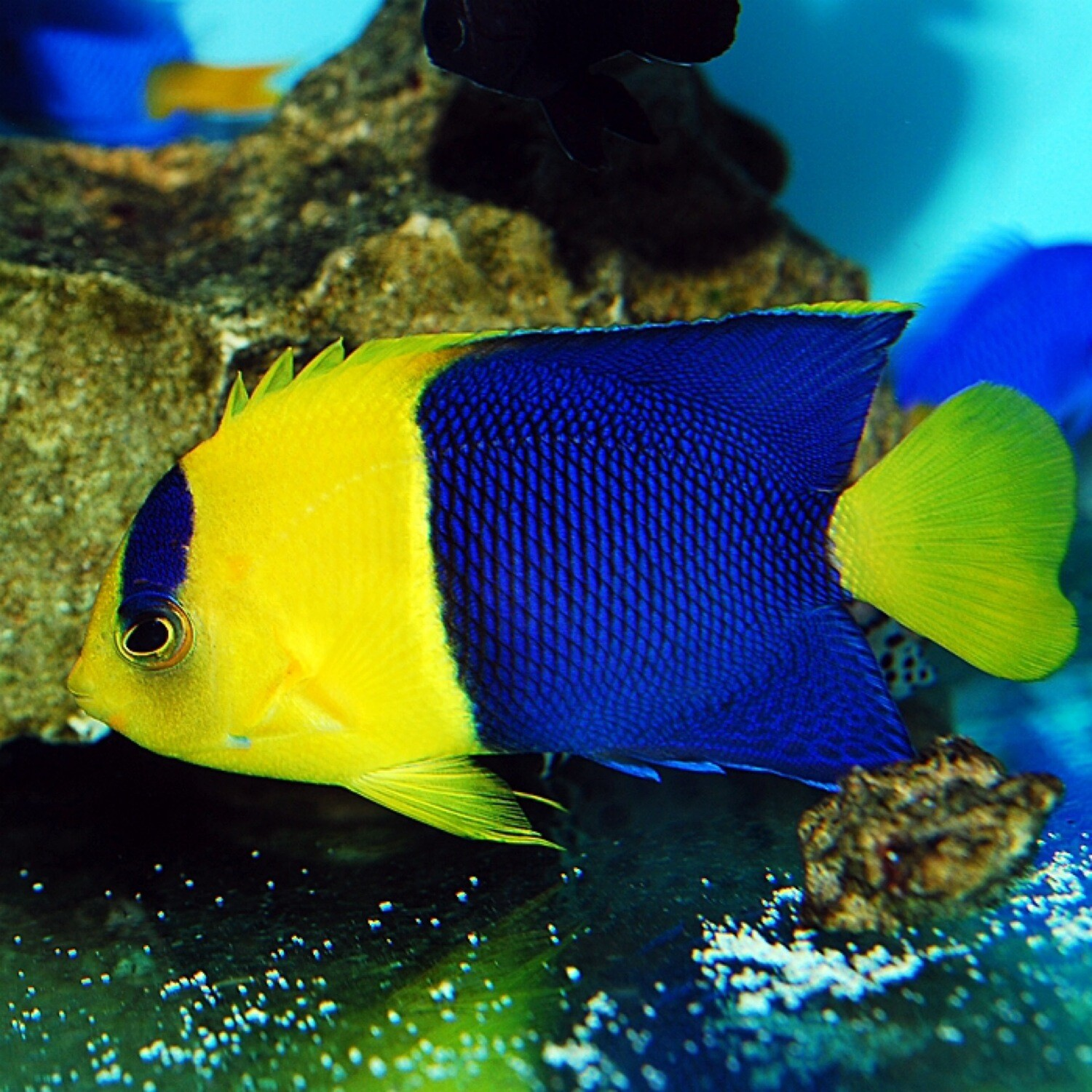 Bi Colour Angelfish
