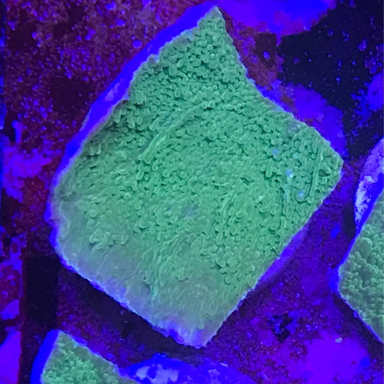 Green Montipora Cap frag