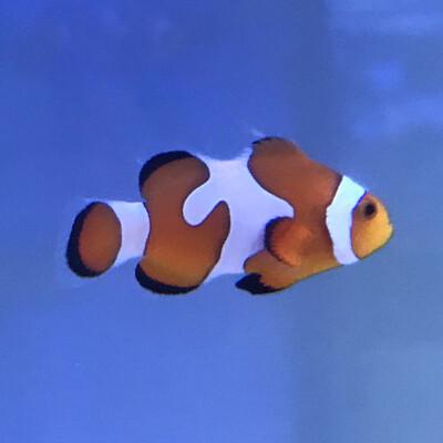 Davinci Clownfish Grade B