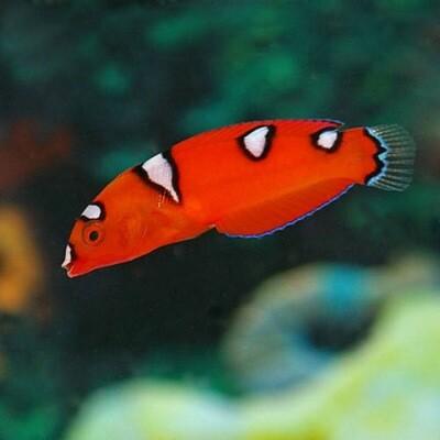 Red coris wrasse juvenile