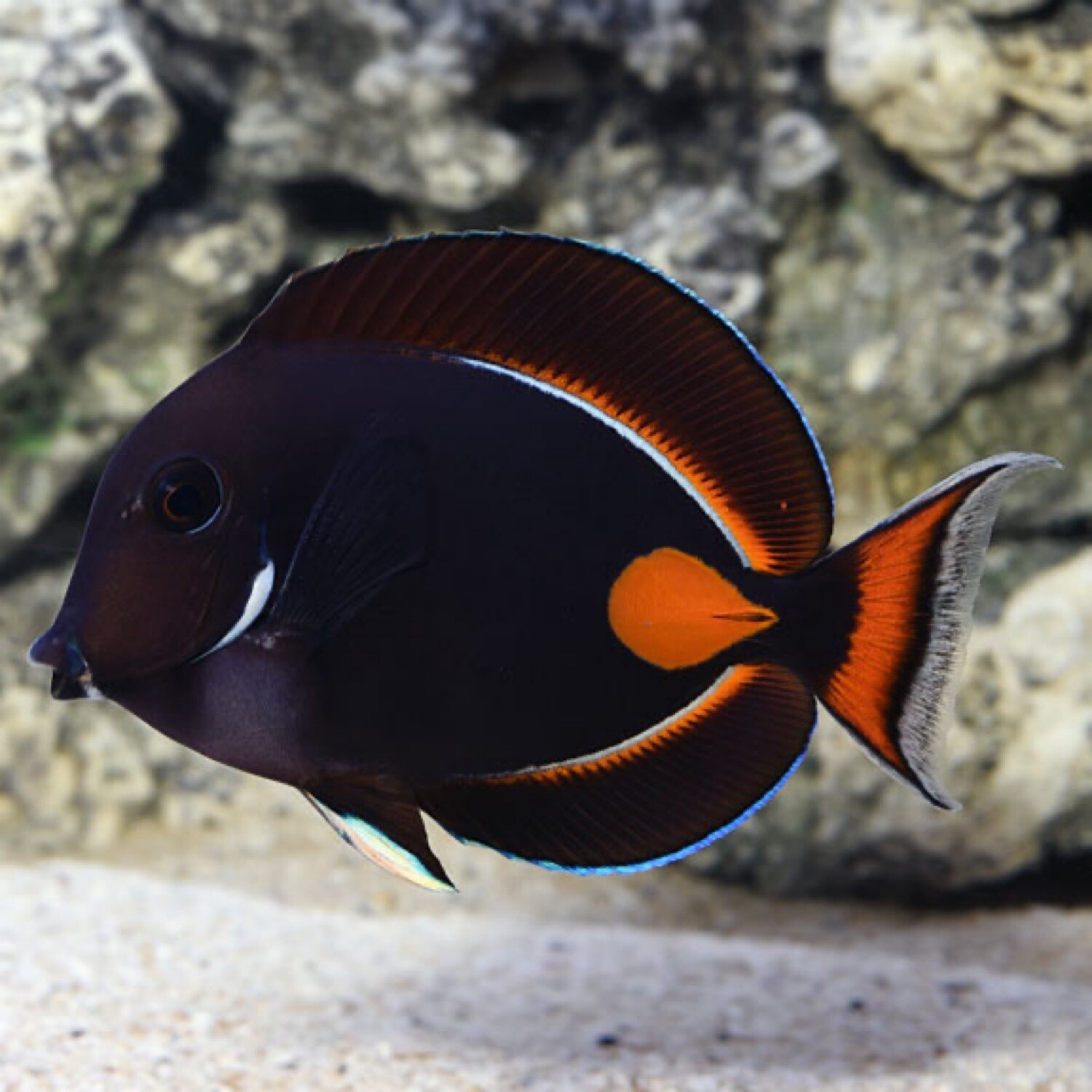 Achilles Tang Sm/Md