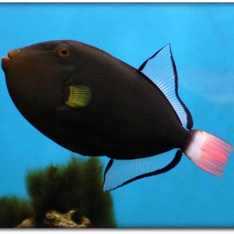 Pink Tail Trigger fish