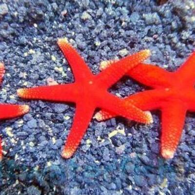 Bali Red Starfish