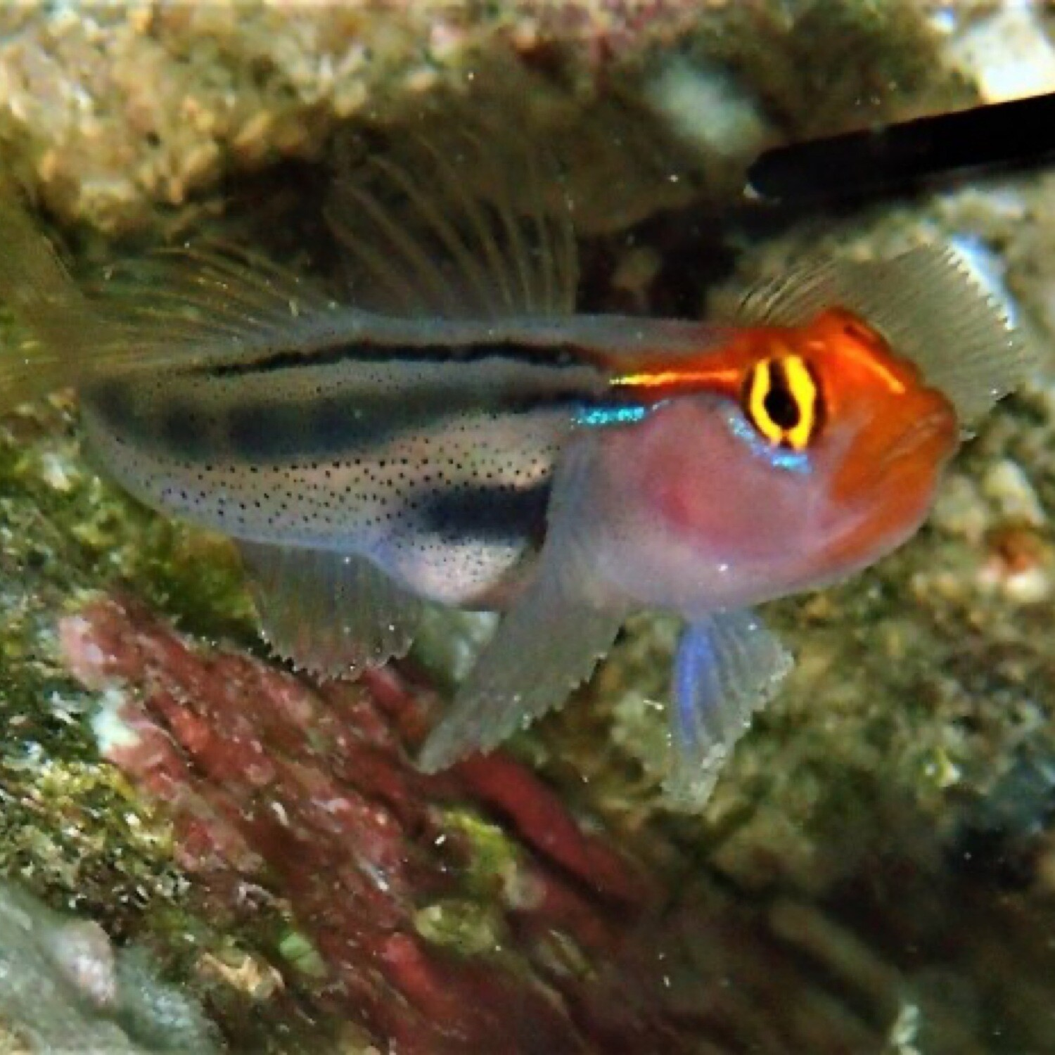 Mexican Red Head Goby TR