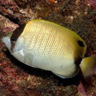 Reef Butterflyfish