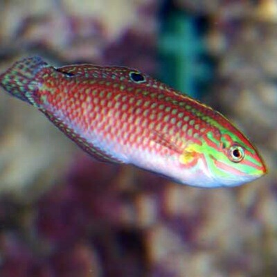 Christmas Wrasse Red