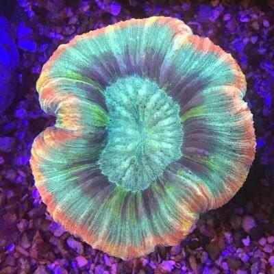 Rainbow Trachyphyllia Geofroyi