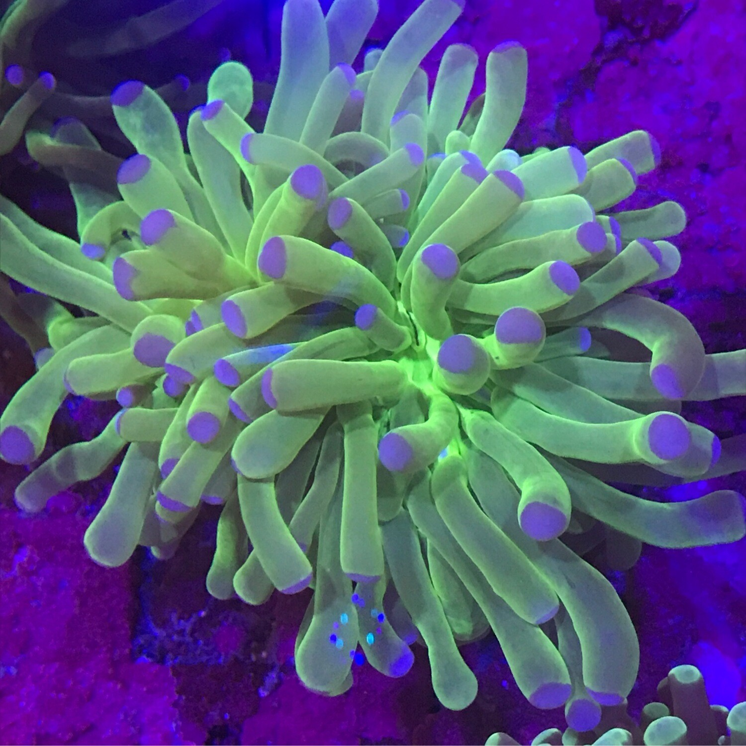 Blue Tip Green torch thick tenticle