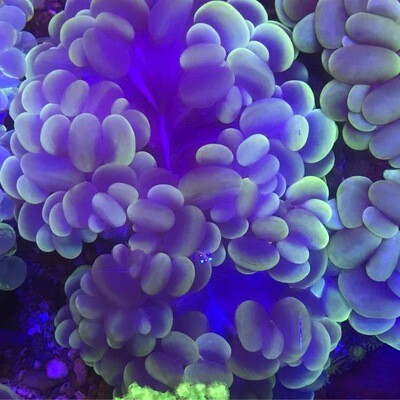 Bubble Coral Cats Eye large