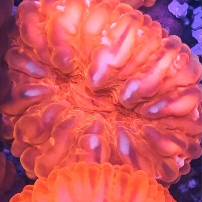 Cynarina Orange