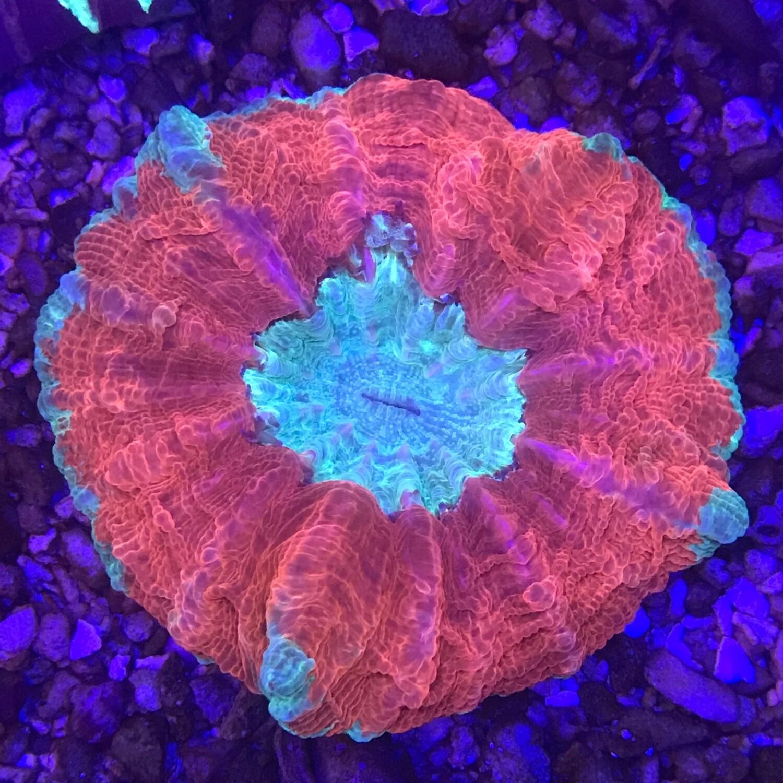 Ultra Acantophyllia