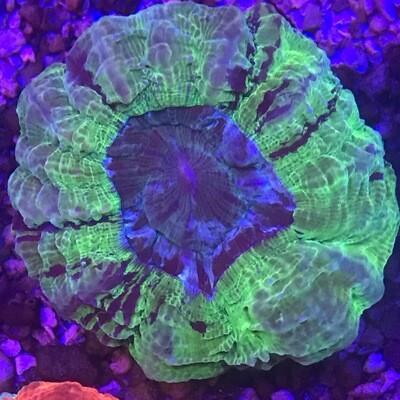 Acantophyllia Metallic Green