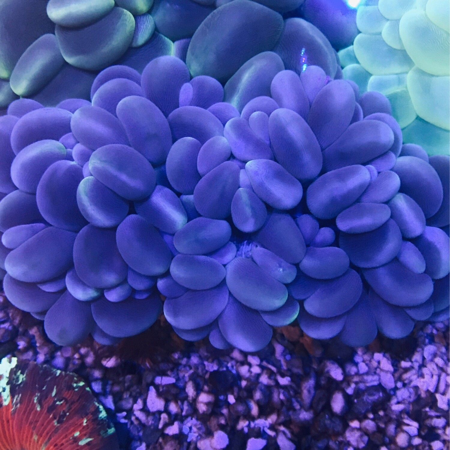 Cats Eye Bubble Coral