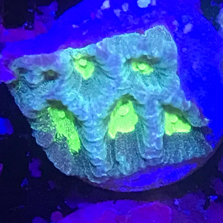 Neon favia frag