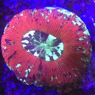 Ultra Trachyphyllia Geofroyi