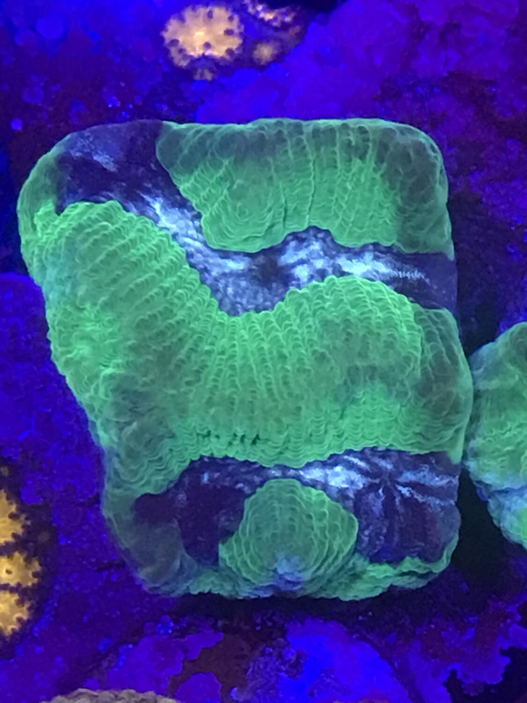 Maze Coral (37)