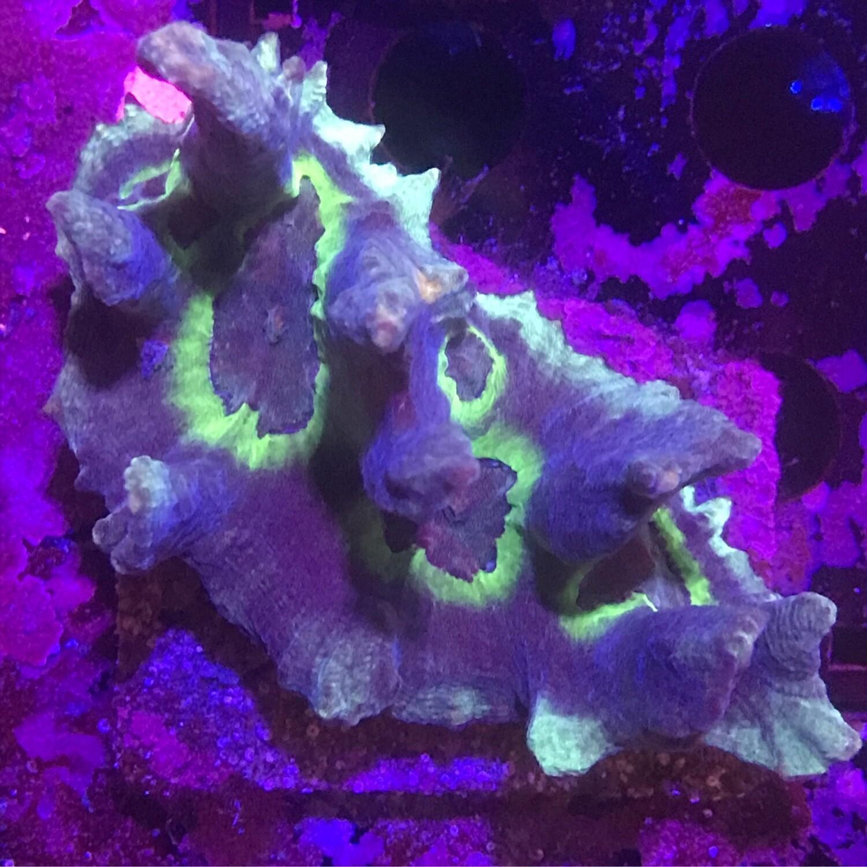 Pectinia colony
