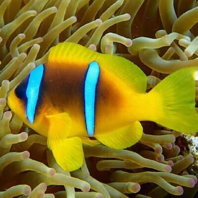 Red Sea Clownfish TR