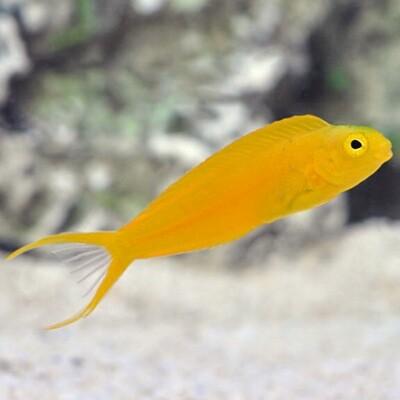 Canary Blenny Fiji