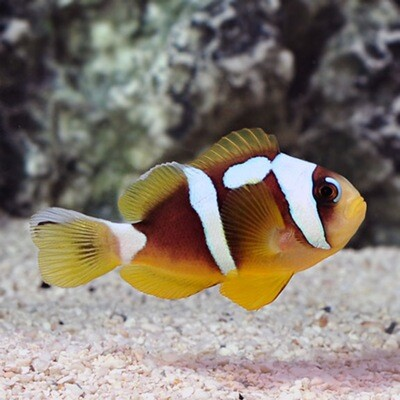 Spotcinctus Clownfish