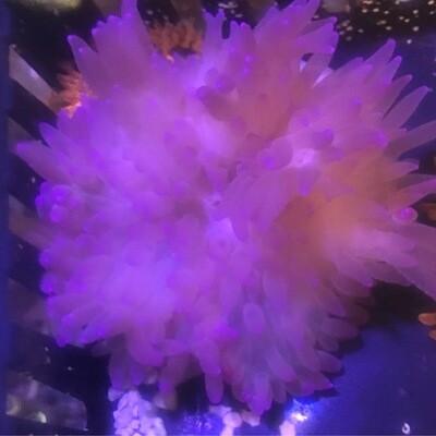 Purple flat anemone