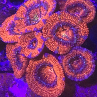 Acan ultra colony