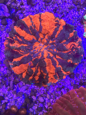 Ultra Warpaint Acantophyllia