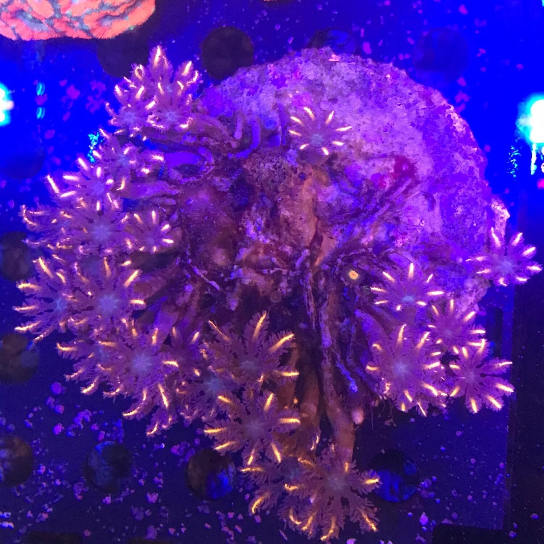 Orange neon Clove polyps
