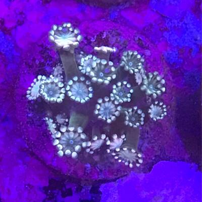 Alveopora frag