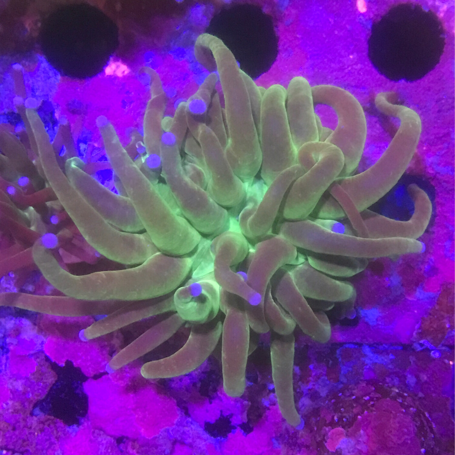 Blue tip Green Torch