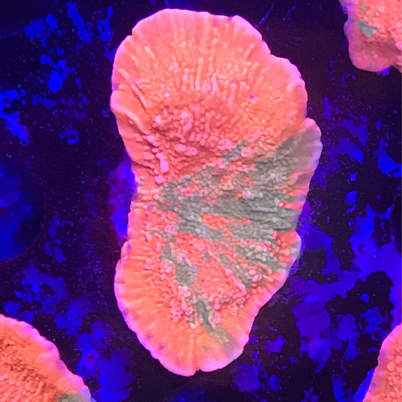 World Wide Corals Grafted Montipora Cap