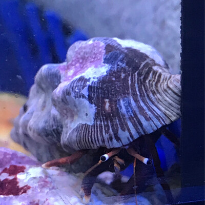 White Tipped Hermit Crab