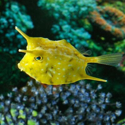 Long Horn Juvenile Cowfish