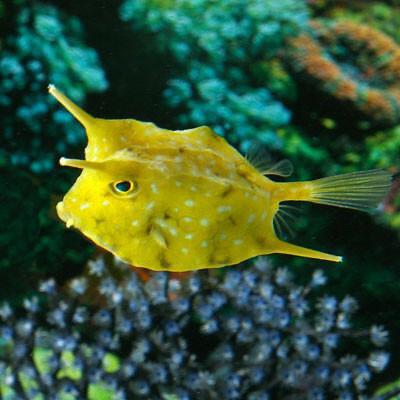 Long Horn Juvenile Cowfish