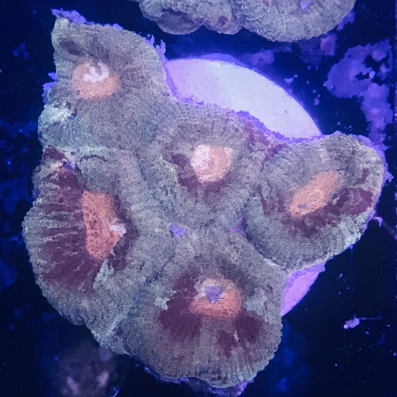 Favite mini colony