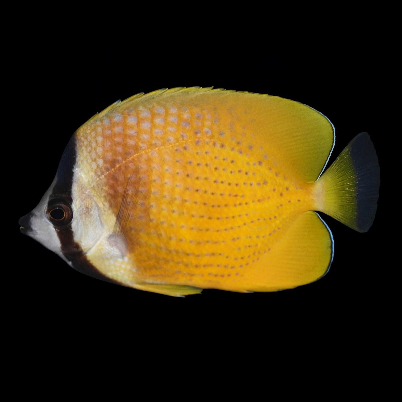 Kleins Butterflyfish
