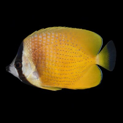 Kleins Butterfly fish