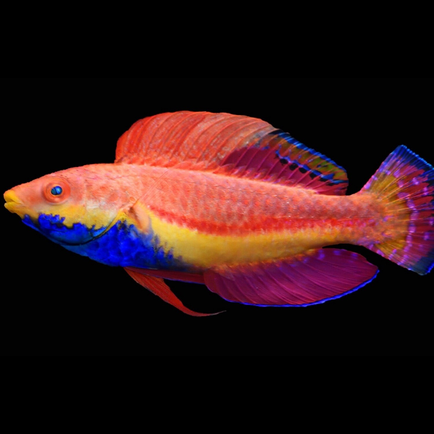 Blue Throated Fairy wrasse