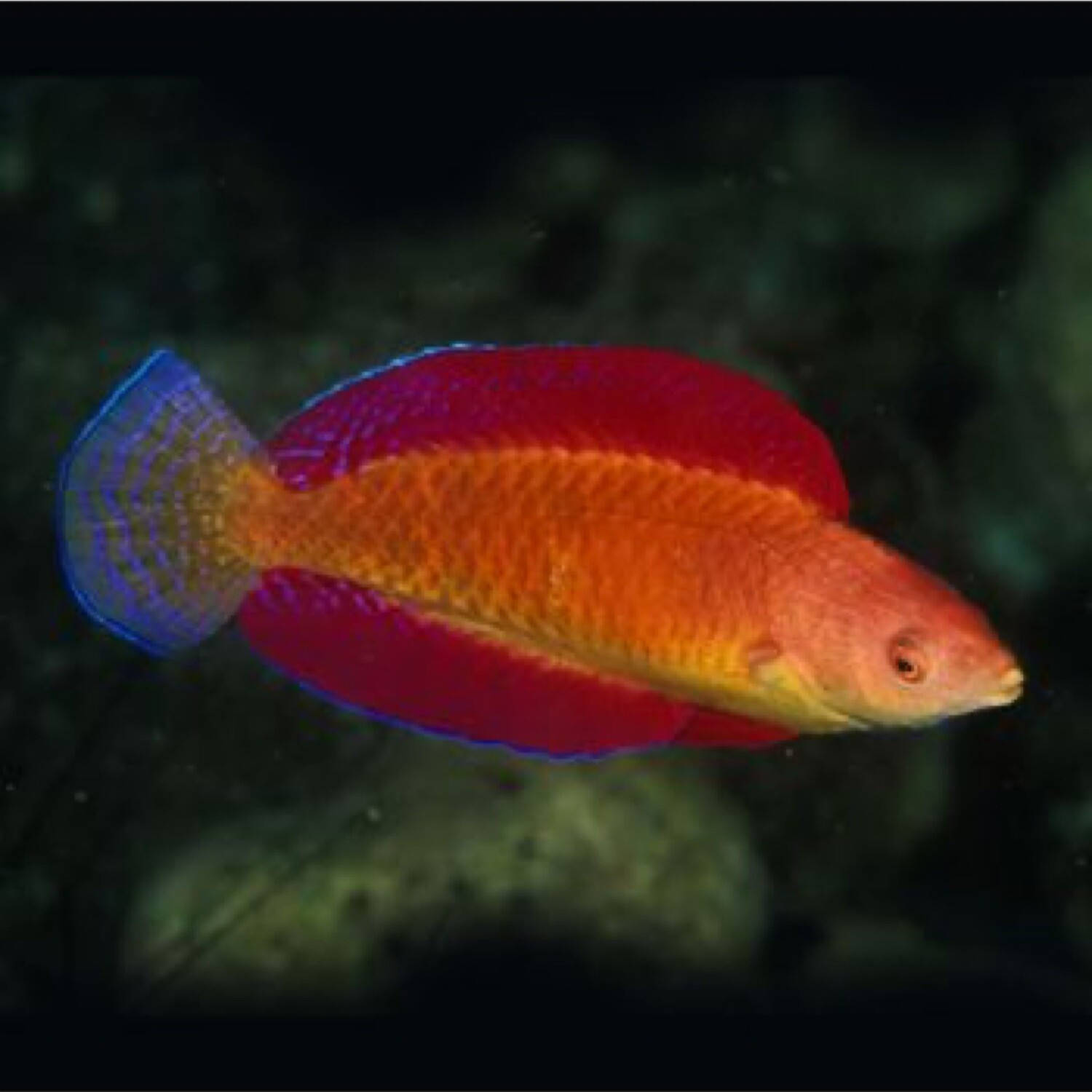 Ruby Red Fin Fairy wrasse