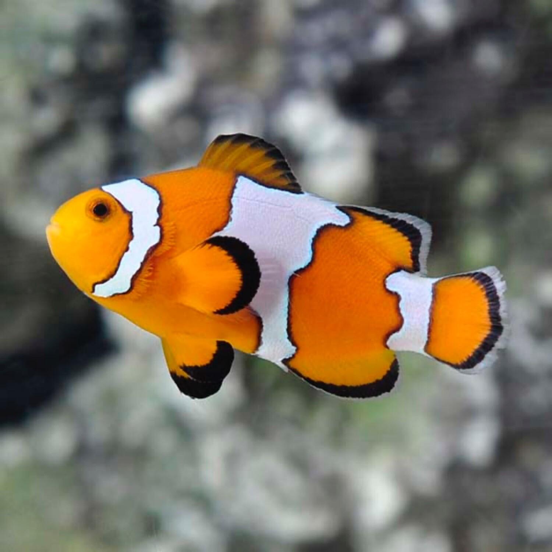 Snowflake Clownfish TR