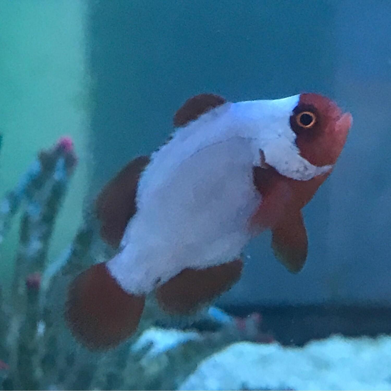 Thunder Maroon Clownfish TR