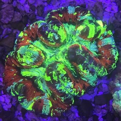 Wellosophyllia Radiata Bali Ultra Red and Green
