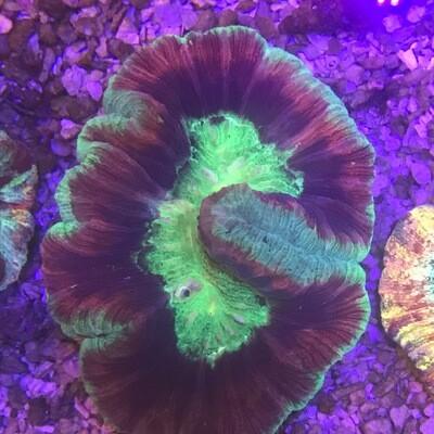 Wellosophyllia Radiata Bicolour