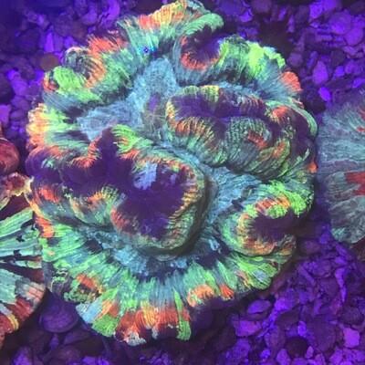Wellosophyllia Radiata Ultra Rainbow 2