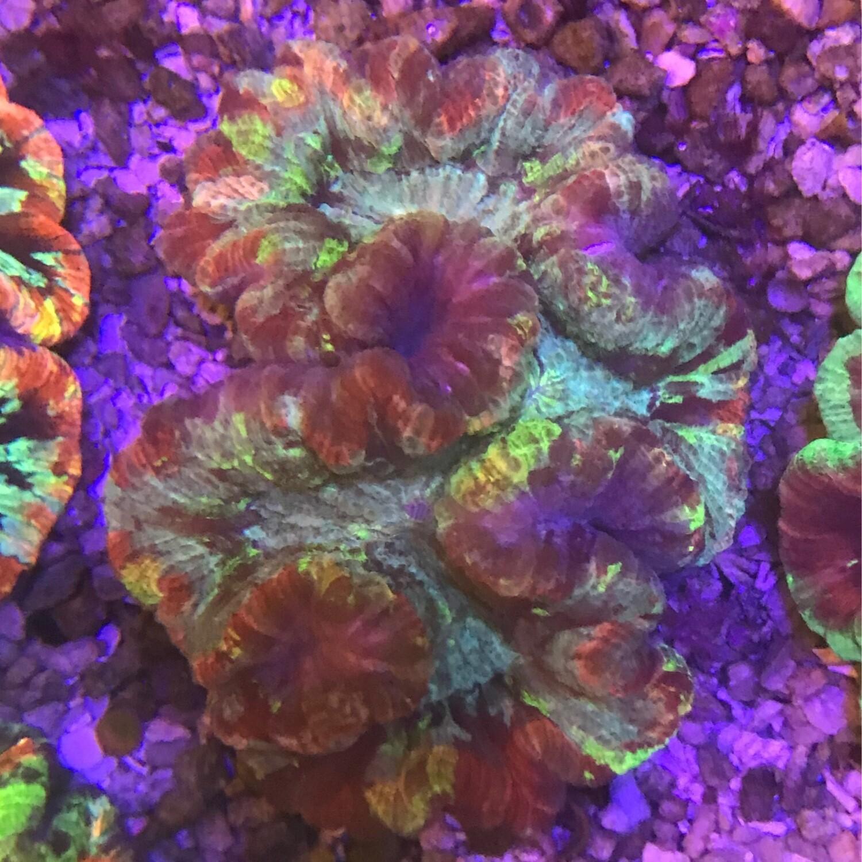 Wellosophyllia Radiata Ultra Rainbow 5