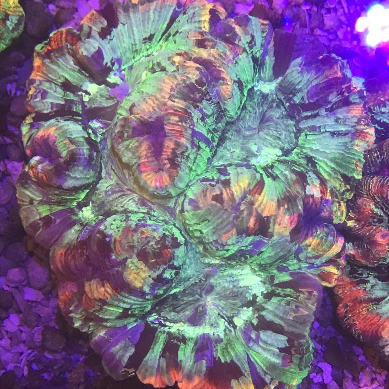 Wellosophyllia Radiata Ultra Rainbow 3