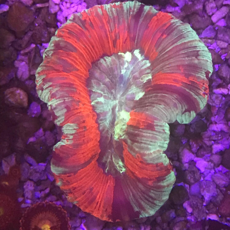 Trachyphyllia Geofroyi