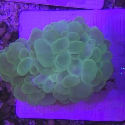 Bubble Coral Neon Md
